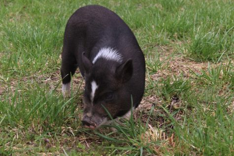 Mable the pig frolicks in the grass.